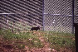 Wolf pup at Rose Creek pen Photo