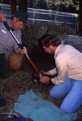 Mike Phillips & Mark Johnson vaccinating wolf pups at the Rose Creek pen Photo