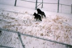Wolf -36 & -35 in Blacktail pen Photo
