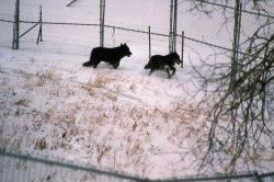 Wolf -35 & -36 in Blacktail pen Photo