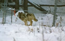 Wolf in Crystal Creek pen Photo