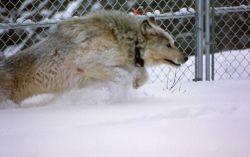 Wolf in Rose Creek pen Photo
