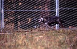 Wolf -9 in the Rose Creek pen Photo