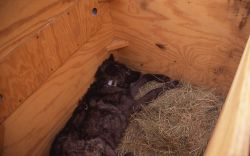 Processed Rose Creek wolf pup with collar in shelter box Photo