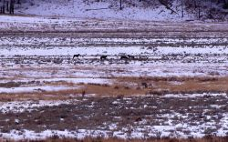 Crystal Creek wolf pack on an elk kill in Lamar Valley Photo