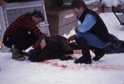 Mark Johnson removing collar of wolf -3 Photo