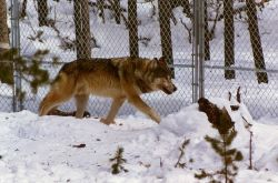 Wolf in Nez Perce pen Photo