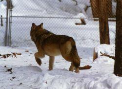 Wolf in Nez Perce pen Photo