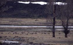 Wolf -6 taking down cow elk in Lamar Valley Photo