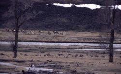 Wolf -6 chasing cow elk in Lamar Valley Photo