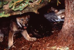1996 Soda Butte wolf pup in den in the Crystal Bench pen Photo