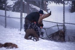 Amy Jacobs & Dan capturing sawtooth wolf pup at Rose pen Photo