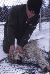 Mike Phillips handling wolf at Rose pen Photo