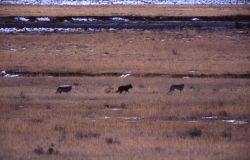 Druid wolf pack in Lamar Valley Photo
