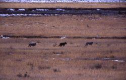 Druid wolf pack in Lamar Valley Photo