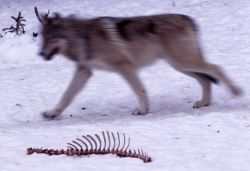 Wolf running past rib cage carcass in Rose Creek pen Photo