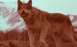 Wolf at Mt McKinely Photo