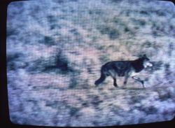 Wolf like animal in Hayden Valley Photo