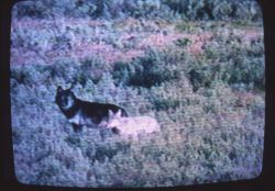 Wolf like animal next to coyote in Hayden Valley Photo