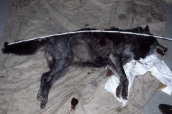 Full body view with bullet hole & measurement of a wolf shot in the Bridger Teton Wilderness Photo