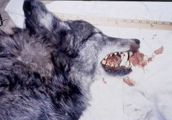 View of side of head with teeth showing of a wolf in the Bridger Teton Wilderness Photo