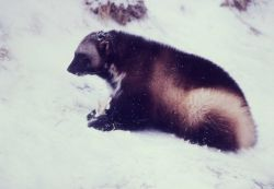Wolverine in snow Photo