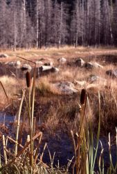 Cattails (Typha sp.) Photo