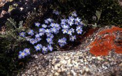 Alpine forget-me-nots (Eritrichum nanum) Image