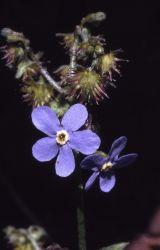 Blue stickseed (Hackelia micrantha) Photo