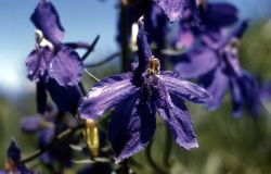 Montana larkspur (Delphinium bicolor) Photo