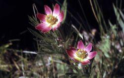 Pacific anemone (Anemone multifida) Photo