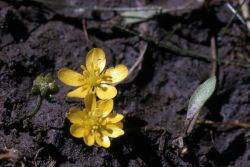 Creeping buttercup (Ranunculus flammula var. ovalis) Photo