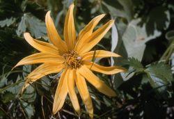 Arrowleaf balsamroot (Balsamorhiza sagittata) Image