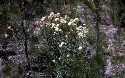 Common pearly-everlasting (Anaphalis margaritacea) Photo