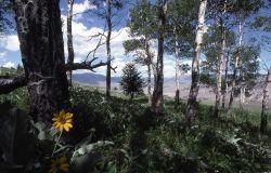 Arrowleaf Balsamroot (Balsamorhiza sagittata) Photo