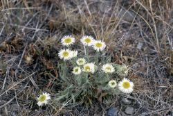 Fleabane Photo