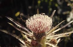 Elk Thistle Photo