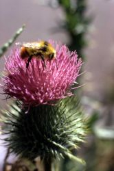 Bull thistle (Cirsium vulgare) with bee Photo