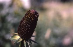 Western coneflower (Rudbeckia occidentalis) Photo