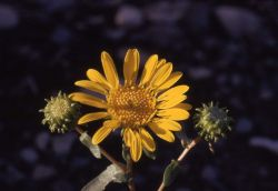 Curly-cup gumweed (Grindelia squarrosa) Photo
