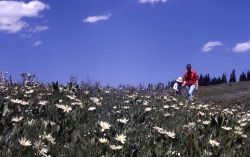Field of White-rayed wyethia (Wyethia helianthoides) Photo