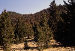 Healthy & infested trees Photo