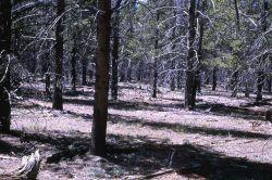 Lodgepole pine (Pinus contorta var. latifolia) forest Photo