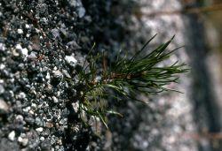 Lodgepole pine (Pinus contorta var. latifolia) seedling Photo