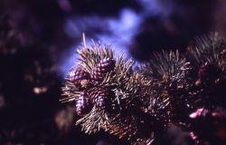 Whitebark pine (Pinus albicaulis) cone Photo
