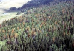 Aerial view of beetle killed trees Image