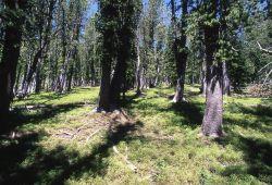 Whitebark pine (Pinus albicaulis) forest, Avalanche Peak trail Photo