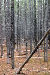 Dense lodgepole pine (Pinus contorta var. latifolia) stand Photo