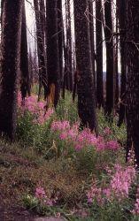 Fireweed (Epilobium angustifolium var. angustifolium) growing between burnt trees Photo