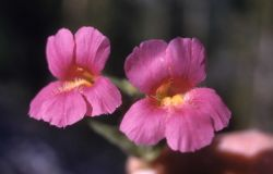 Lewis' monkey-flower (Mimulus lewisii) Photo